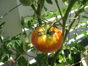 Modern Homestead red tomato